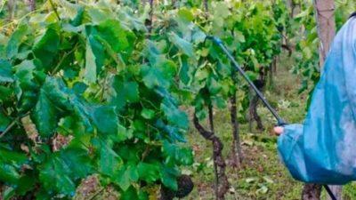 опрыскивание винограда весной медным купоросом