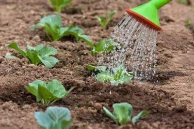 чем удобрить капусту в июле