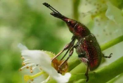 долгоносик на клубнике борьба с ним во время цветения