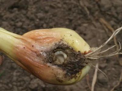 чем поливать лук от червей