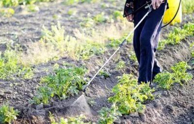 можно ли опрыскивать картофель во время цветения