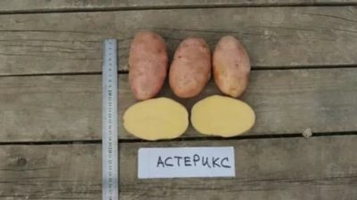 астерикс сорт картофеля