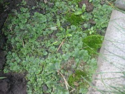мох в огороде как избавиться