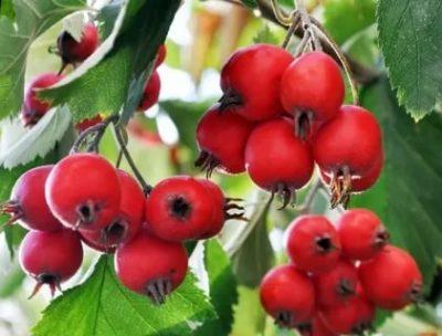боярышник крупноплодный сорта