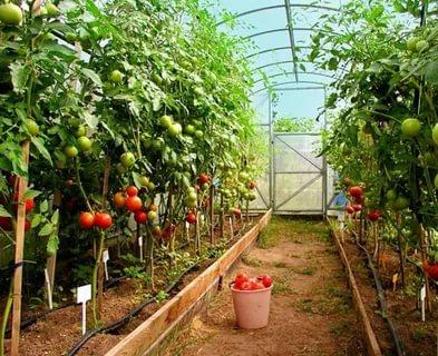 уход за помидорами в теплице во время цветения