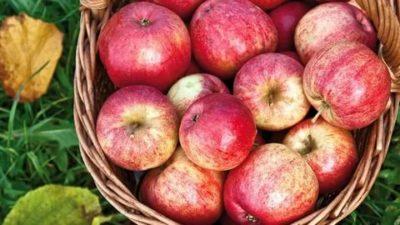 сорт яблок штрифель