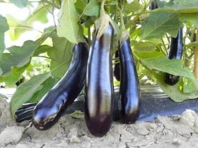 какой сорт баклажан самый урожайный