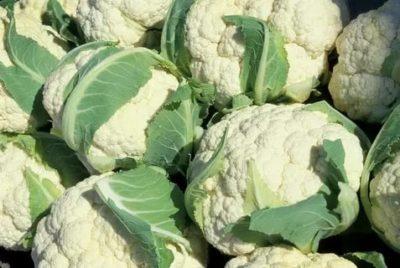 лучшие сорта капусты для подмосковья
