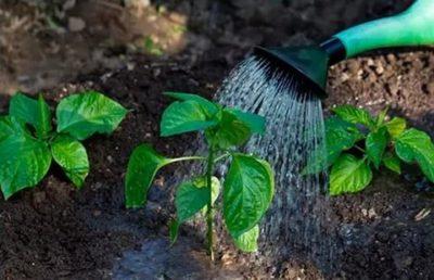 как поливать перец после посадки