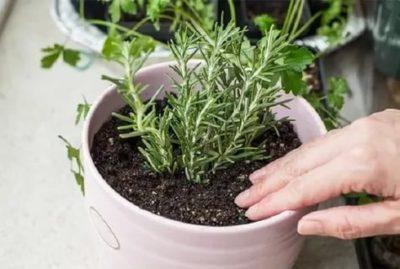 как сеять розмарин на рассаду