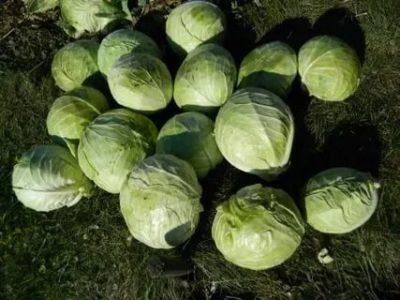 когда рубить капусту на зиму
