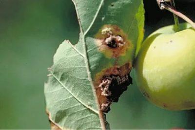 ржавчина на листьях яблони как бороться
