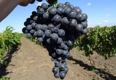 северные сорта винограда