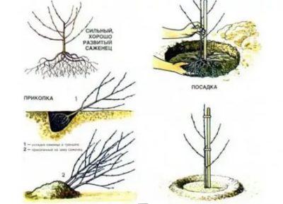 как посадить черешню осенью