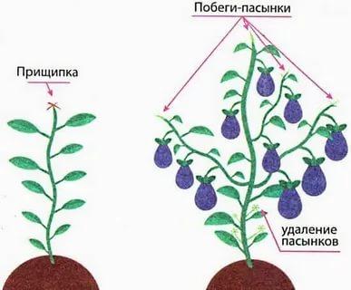 баклажаны уход и выращивание в теплице формирование куста