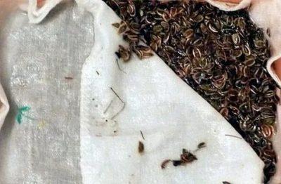 как замочить семена укропа перед посадкой