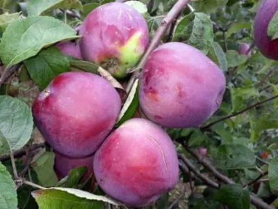 сорт яблони имант