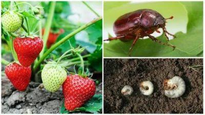 как избавиться от майского жука в клубнике