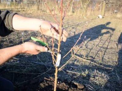 обрезка саженца вишни