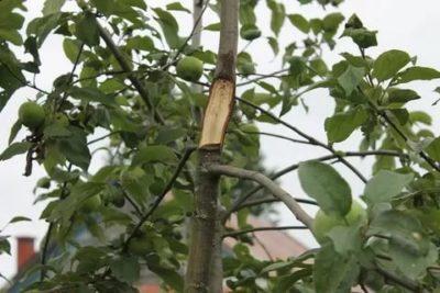 сломалась яблоня что делать