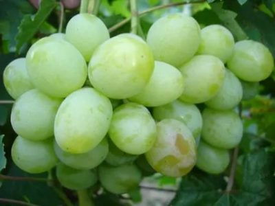 сорт винограда цветочный