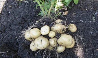 сорт картофеля венди