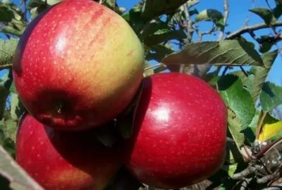 сорт яблок лигол
