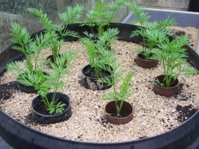 выращивание моркови рассадой