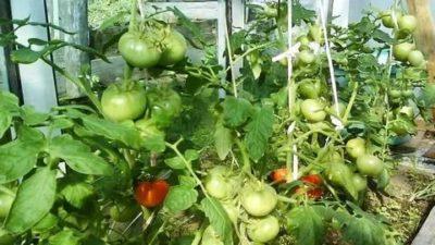 плохо завязываются помидоры в теплице что делать
