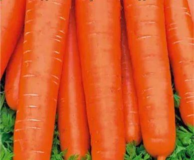 крупные сорта моркови