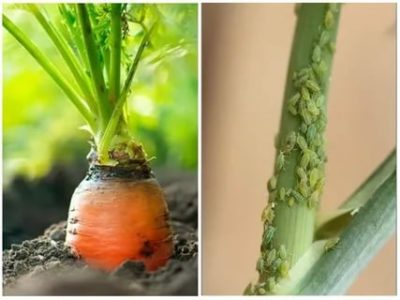 тля на моркови
