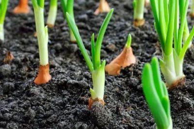 уход за луком весной
