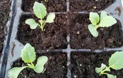 как посадить цветную капусту на рассаду дома
