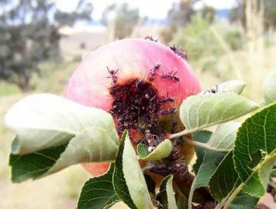 муравьи на яблоне как избавиться