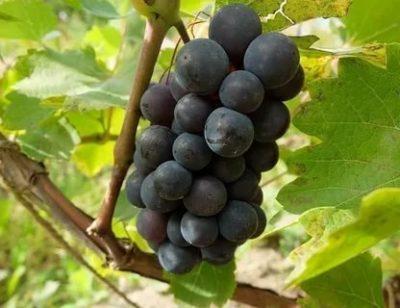 сорт винограда левокумский