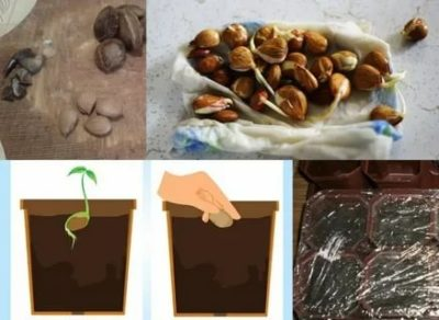 как посадить персик